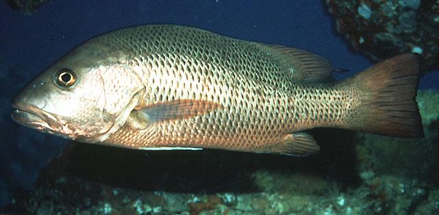 La Pesca del Pargo (Lutjanus Sp.) por José Manuel López Pinto  / Actualizado al 17/10/11 Luarg_u0