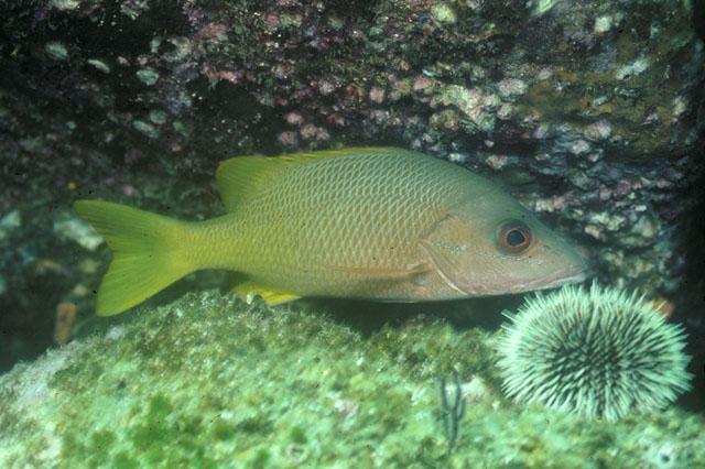 La Pesca del Pargo (Lutjanus Sp.) por José Manuel López Pinto  / Actualizado al 17/10/11 Luarg_ud
