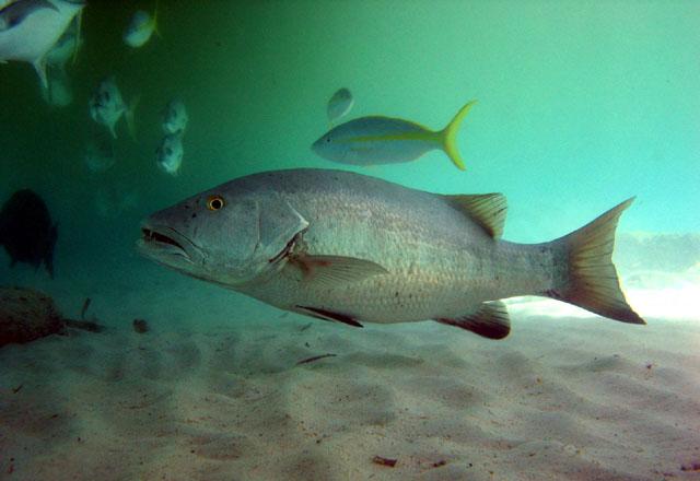 La Pesca del Pargo (Lutjanus Sp.) por José Manuel López Pinto  / Actualizado al 17/10/11 Lucya_u5