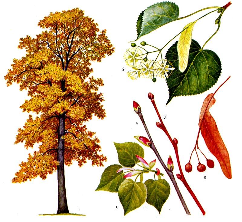 гороскопдруидов - Магические свойства деревьев. Магия деревьев. Деревья в магии. 6