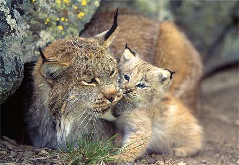 Loups, ours, lynx .... vite le temps presse 5w7buaw1