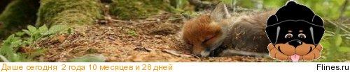 Великолепный ярко рыжий щенок сиба-ину  1119430