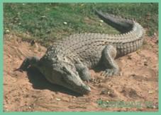 Крокодил Krokodile