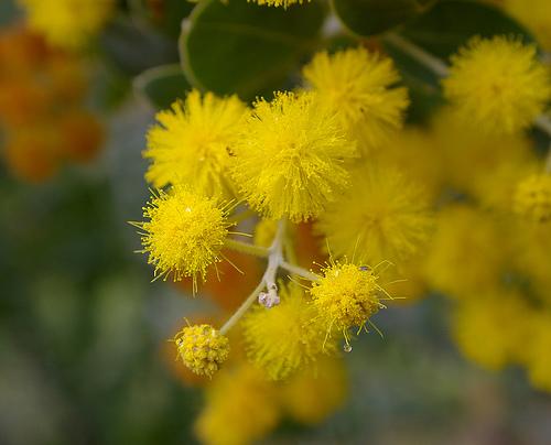 Winter Flowers Acacia-flower-6