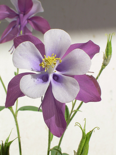 Monthly Avatar Theme for May: May Flowers Columbine-flower-14