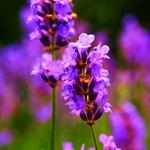 Оригинальные цветники и клумбы.Схемы посадки. - Страница 2 Lavandulaangustifolia2_thumb