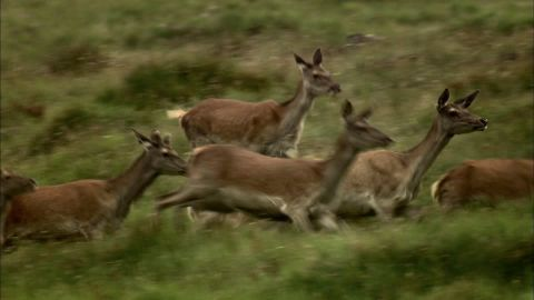 Le fragole. 443791417-deer-herd-escaping-running-austria
