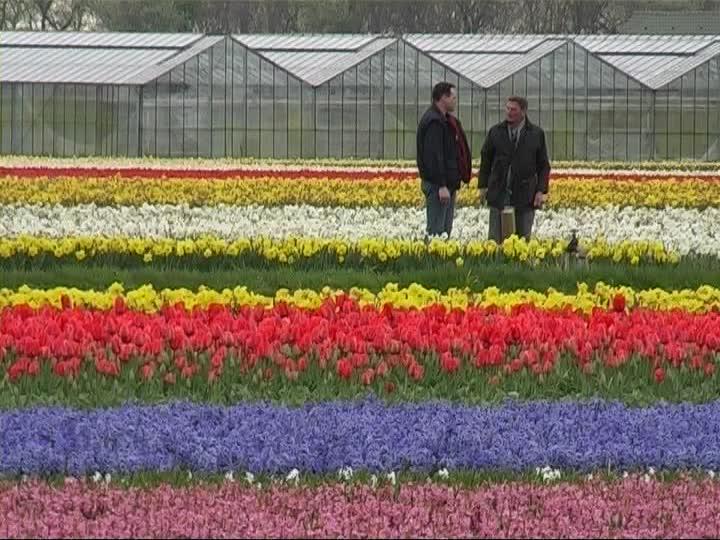 les éléments - Page 12 143639024-noordwijk-jacinthe-champ-de-tulipes-serre-botanique