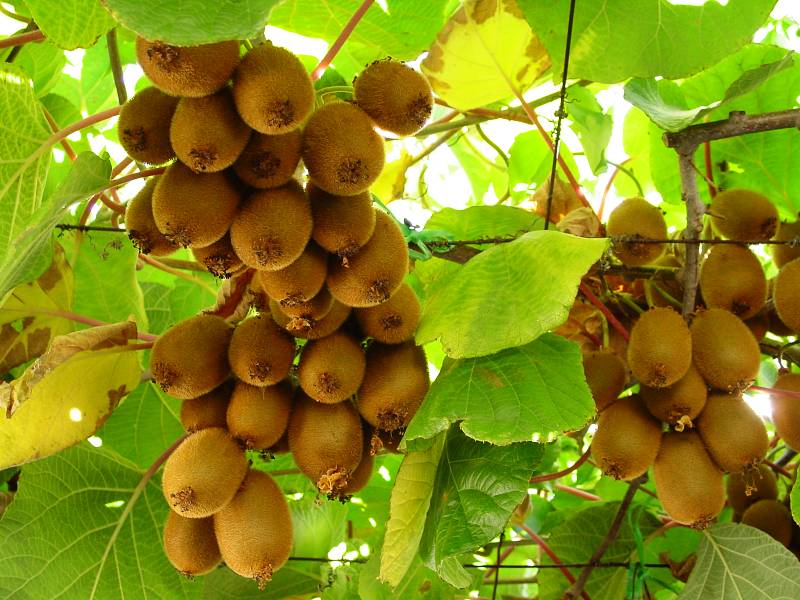كتاب -  تحميل كتاب زراعة شجرة الكيوي . زراعة شجرة الكيوي Hwaml.com_1294434711_271
