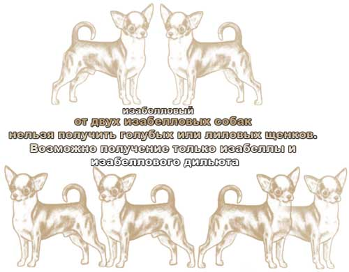 Генетика окраса чихуа - Страница 2 1272726291866671