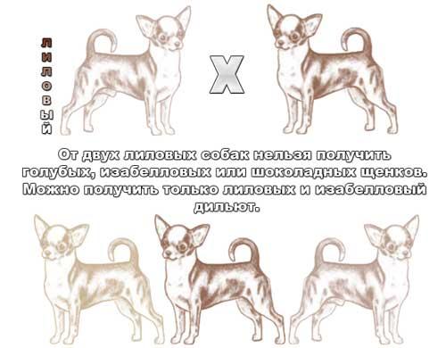 Генетика окраса чихуа - Страница 2 127272631798753217