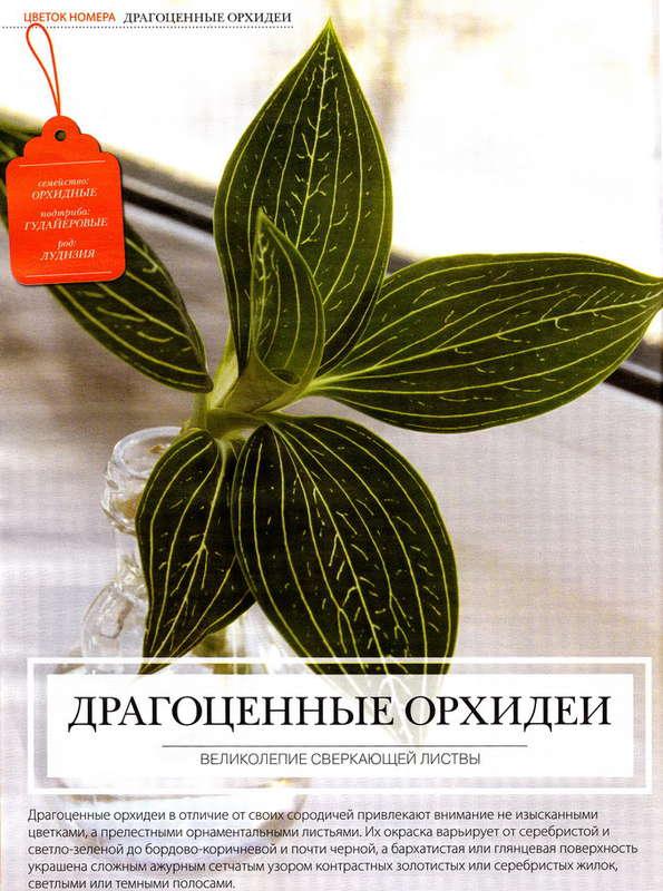 орхидея или фаленопсис 139704044552305552