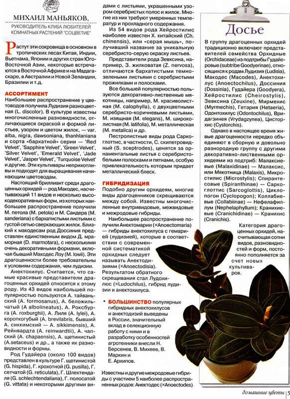 орхидея или фаленопсис 139704044910884295