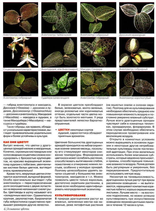 орхидея или фаленопсис 139704045247881621