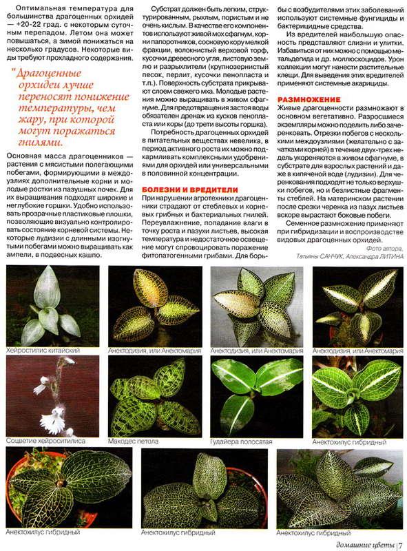 орхидея или фаленопсис 139704045673589967