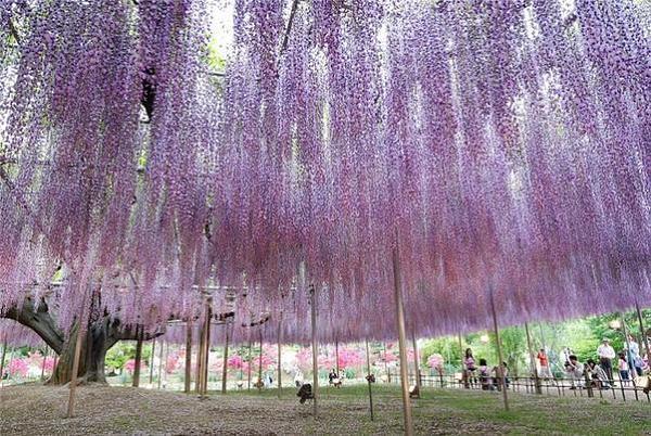 """شلالات الورود في """"اليابان"""" 196f872738adfe65000ecfabb3ea6c67"""