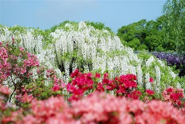 """شلالات الورود في """"اليابان"""" 969a6f1289ee566b654f8e19a725302d"""