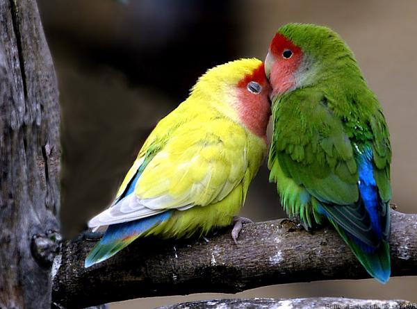 طيور ملونة جميلة E61949274cca8b2e344fef82650e5c51