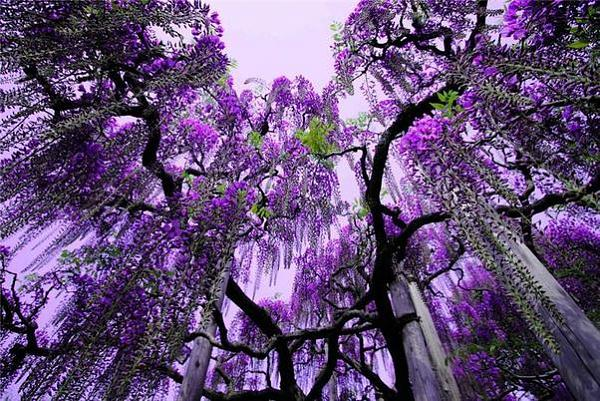 """شلالات الورود في """"اليابان"""" F0f39bb463b5be06e453a9b04051504f"""