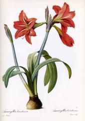 Прекрасные старинные цветы. Ботанический атлас Пьера Редуте 1133-1