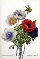 Прекрасные старинные цветы. Ботанический атлас Пьера Редуте 1133-2