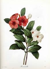 Прекрасные старинные цветы. Ботанический атлас Пьера Редуте 1133-4