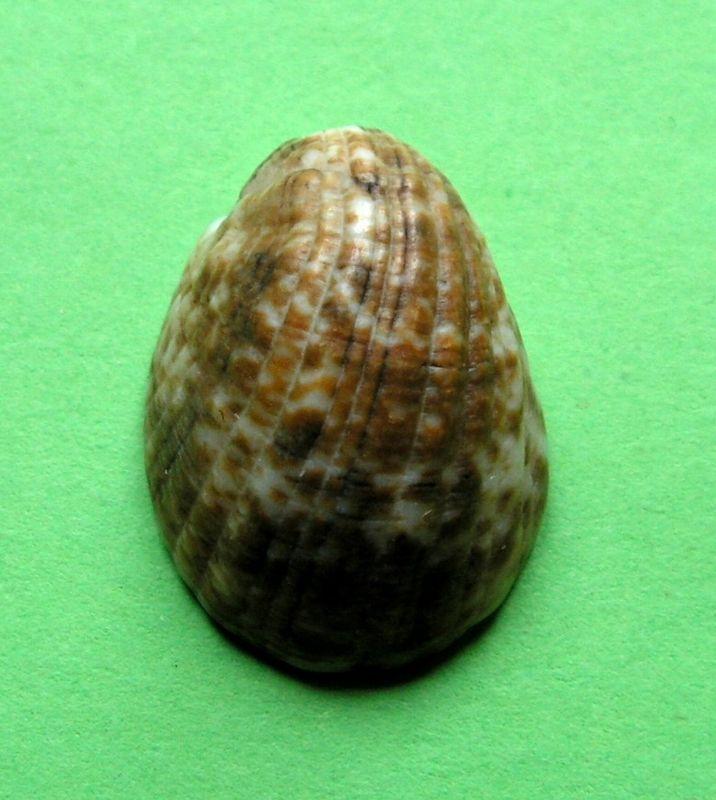 Nerita albicilla - Linnaeus, 1758 Nerialbi12