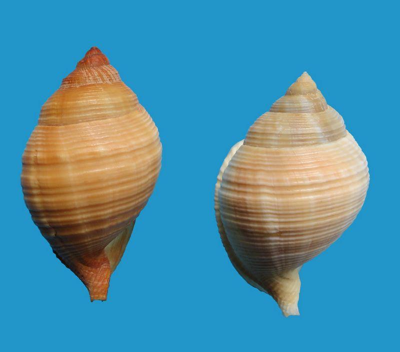 Galeodea echinophora - (Linnaeus, 1758) - lisse Cassechil10