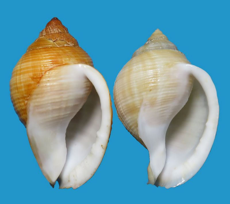 Galeodea echinophora - (Linnaeus, 1758) - lisse Cassechil11