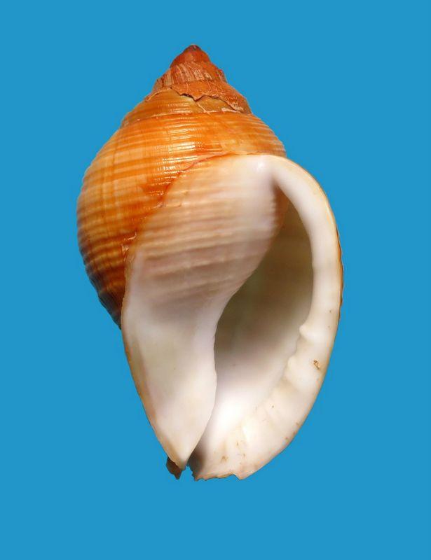 Galeodea echinophora - (Linnaeus, 1758) - lisse Cassechil18