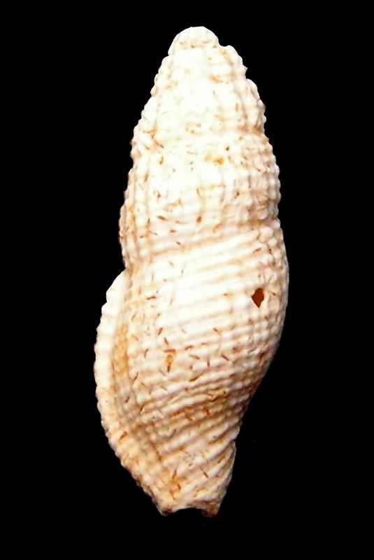 Columbellidae - † Anachis rissoides (Grateloup, 1834) - Burdigalien (St Martin d'Oney 40) Anacriss15