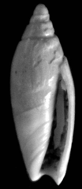 Olividae - † Anazola clavula (Lamarck, 1810) - Burdigalien, Aquitanien Anazolasp11