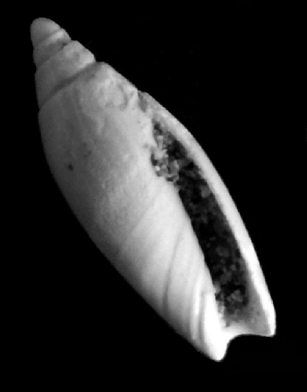 Olividae - † Anazola clavula (Lamarck, 1810) - Burdigalien, Aquitanien Anazolasp12