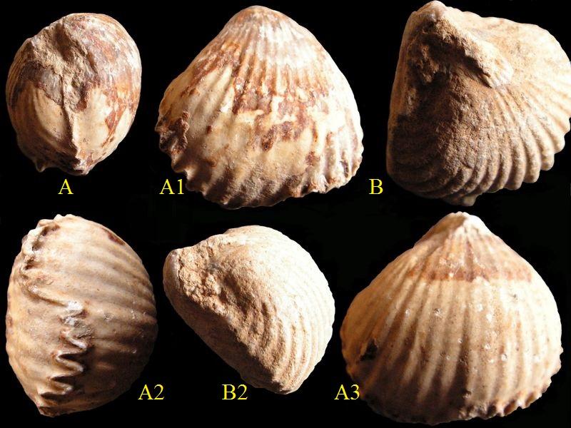 Brachiopodes sp. Brachio14