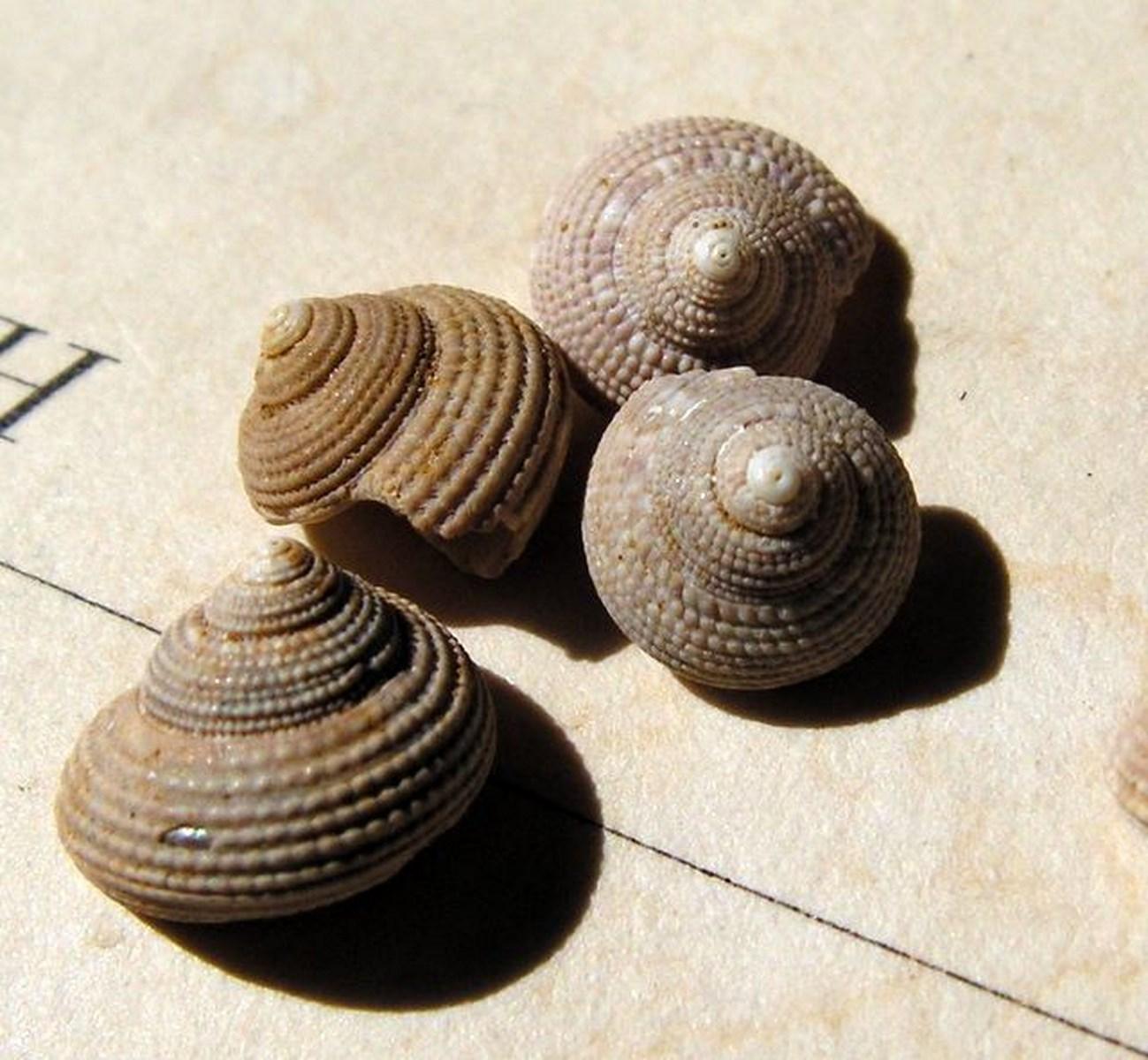 Trochidae - † Clanculus araonis (Basterot, 1825) - Burdigalien Clanara2