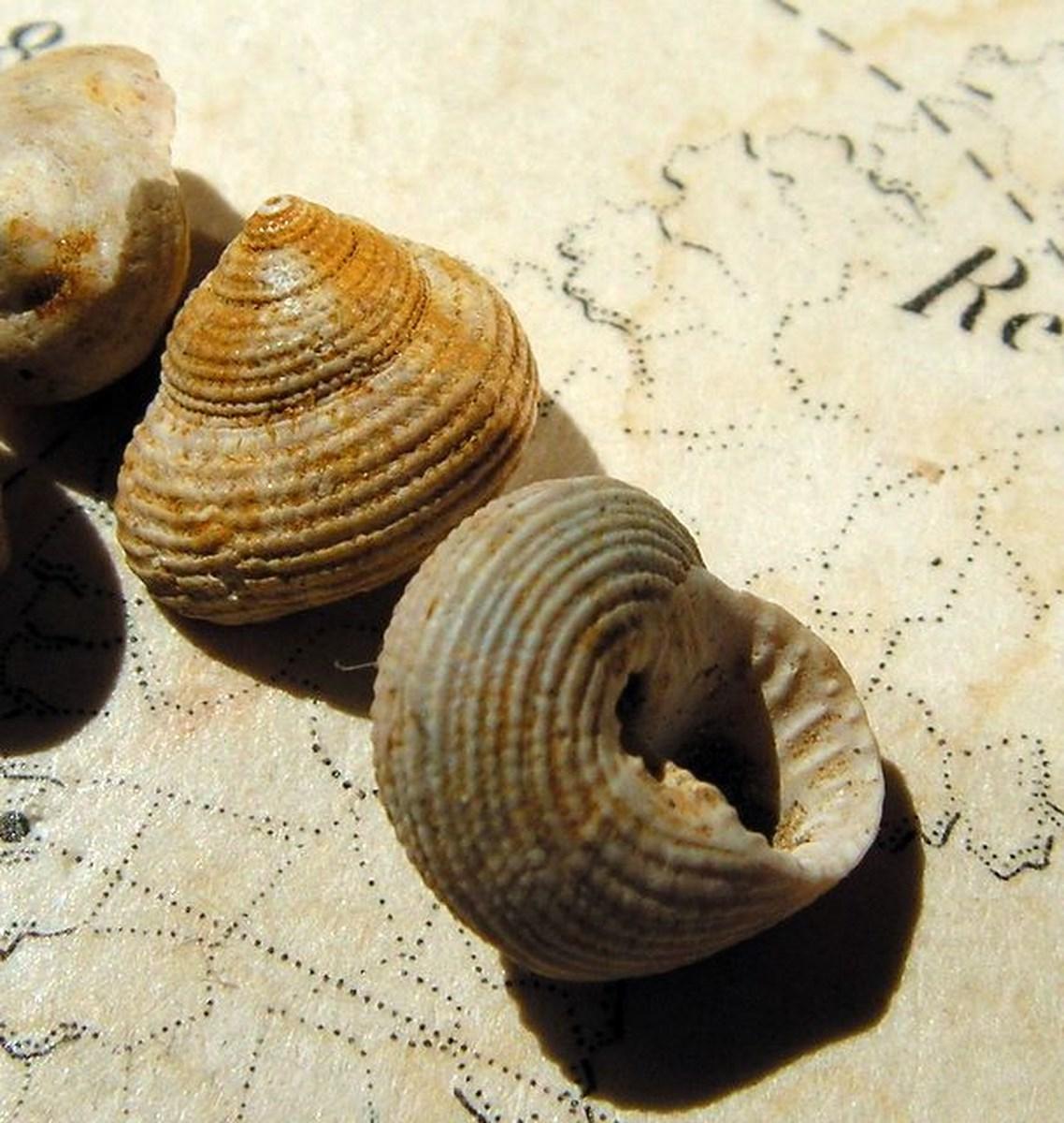 Trochidae - † Clanculus araonis (Basterot, 1825) - Burdigalien Clanara_0