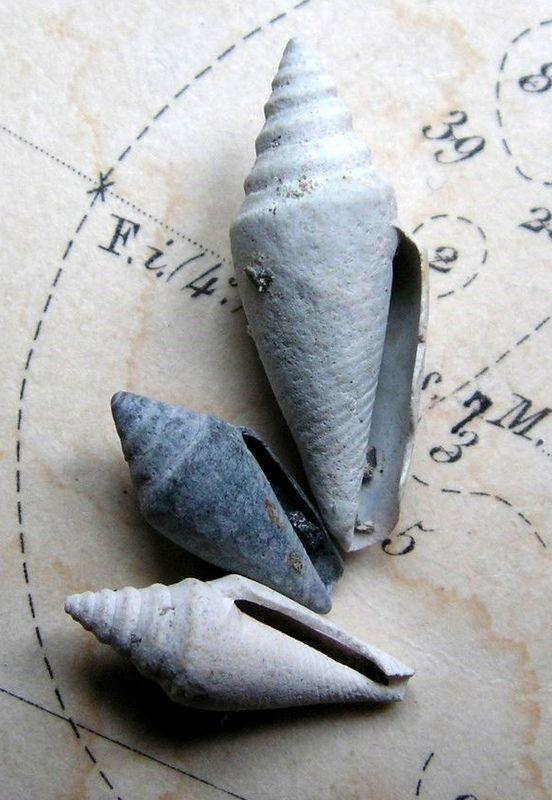 Conidae - † Conus (Conospira) dujardini var. sallomacensis - Miocene Serravalien (St Martin d'Oney 40)  C_dujasall10