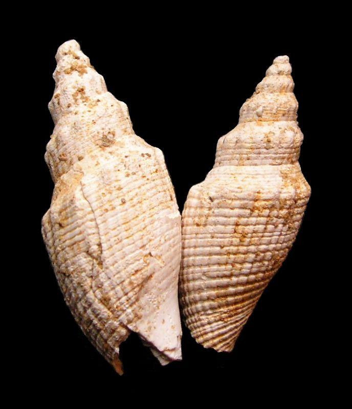 Borsoniidae - †  Genota ramosa (de Basterot, 1825) - Serravalien (?) Genosall11