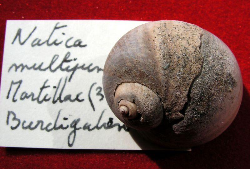 Naticidae - †  Natica crassiuscula (Grateloup, 1847) - Burdigalien (Martillac) Natimult11