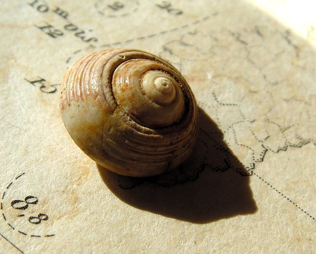 Trochidae - † Paroxystele burdigalensis (Cossmann & Peyrot, 1917) - Burdigalien des Landes Paroxystele_burdigalensis3