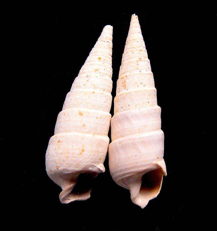 Potamitidae - † Tympanotonus dimorphospira (X, ?) Tympadimo12