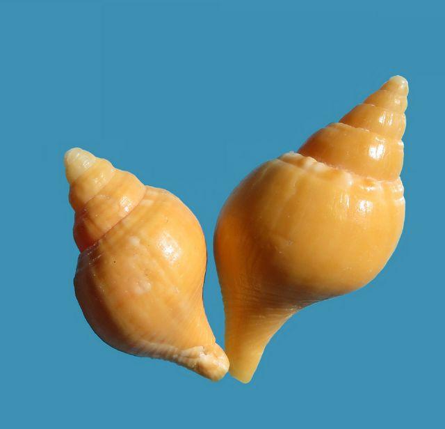 Fasciolaria tulipa - (Linnaeus, 1758) Fasctulij10