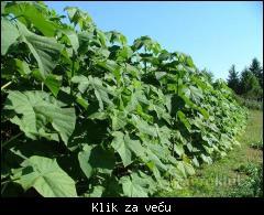 Prodajem sadnice paulovnije 1_tmb_111198703_02