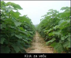 Paulownia ( Sadnice Paulovnije ) 1_tmb_120062477_02
