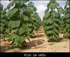 Prodajem sadnice paulovnije 1_tmb_51627969_03