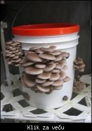 Prodajem micelijum seme pecurki gljiva cena 500 dinara 064/4711000 1_tmb_97133546_03%200.163%20manja