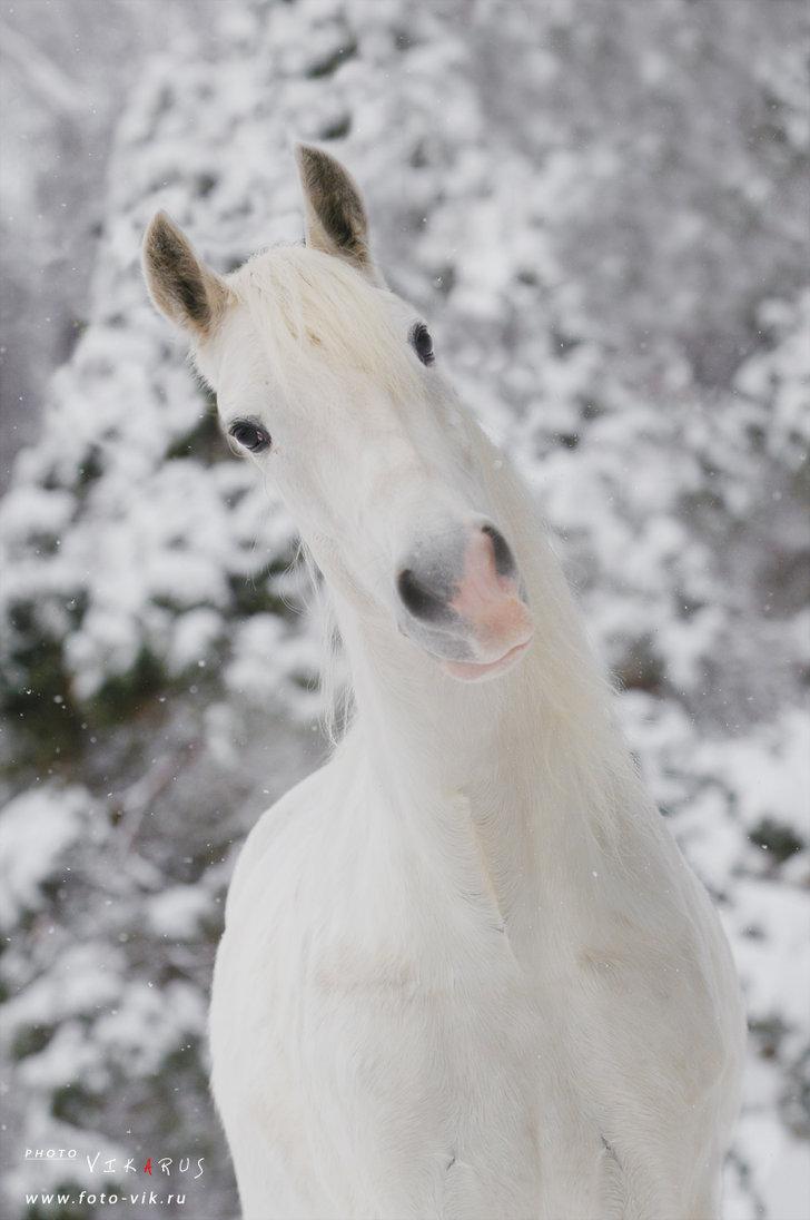 Žirgų registracija I58_white_and_smile_by_vikarus-d36ce9c