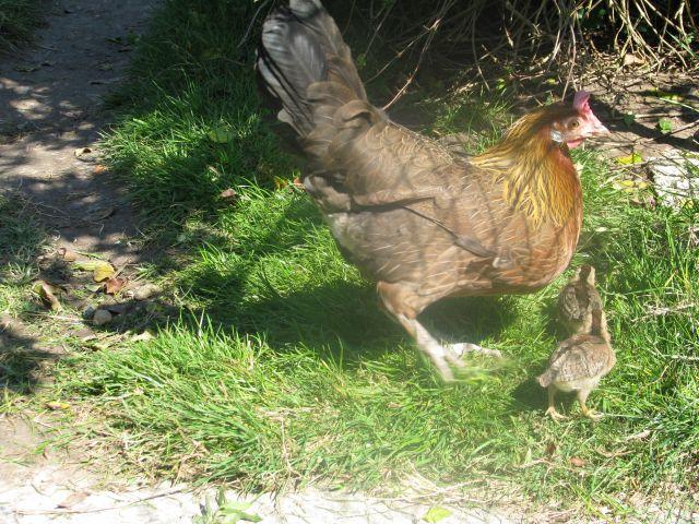 Poussins de poule Naine Allemande  13.6
