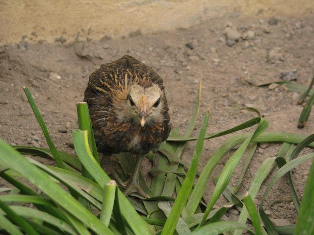Poussins de poule Naine Allemande  28.23