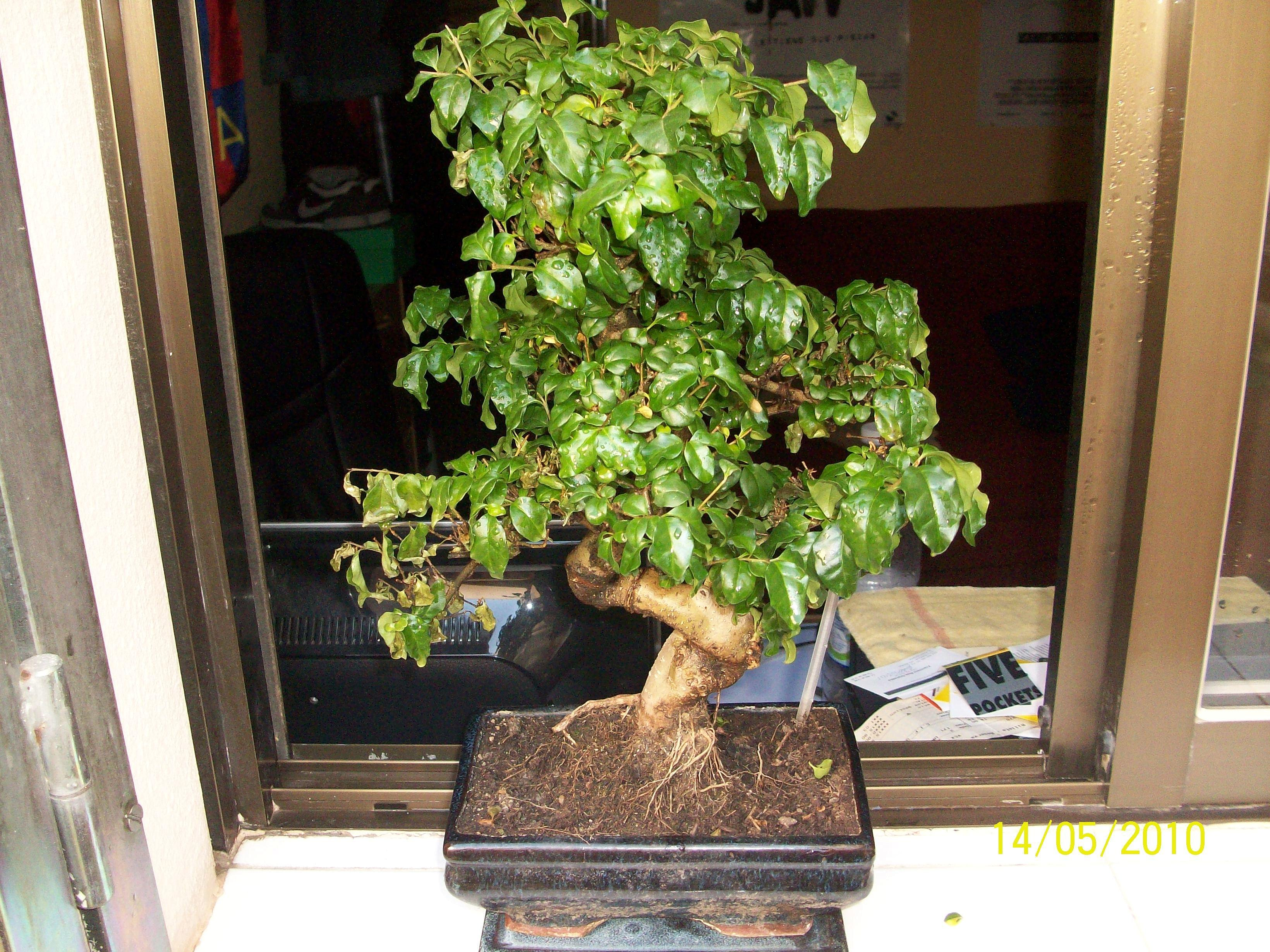 Algo le pasa a mi bonsai 2b0320ca2f3cf3826fd6004e93d436f9o